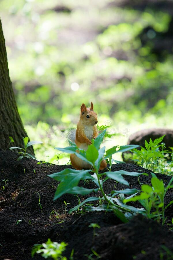 A wild forest squirrel sits in a thicket of a green plant. And looks into the frame royalty free stock photo