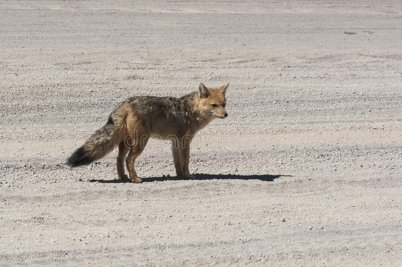 Wild fox in the Siloli desert, part of the Reserva Eduardo Avaroa, Bolivia - at an altitude of 4600m royalty free stock image