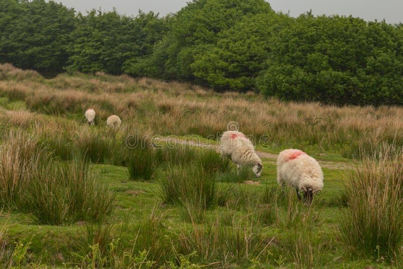 Dartmoor sheep. Wild and free sheep in Dartmoor in England stock images