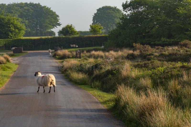 Dartmoor sheep. Wild and free sheep in Dartmoor in England stock photos