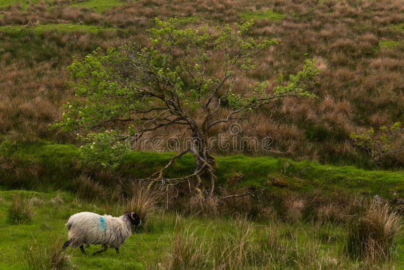 Dartmoor sheep. Wild and free sheep in Dartmoor in England royalty free stock photos