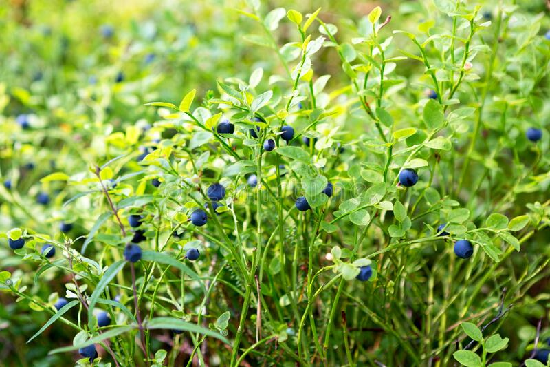 Wild fresh organic blueberry bush in forest. Blueberry plant growing naturally. Huckleberry,  North West Russia royalty free stock image