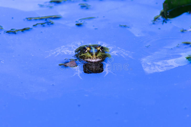 Wild frog in the blue water, with reflection. Kirklareli, Turkey.  royalty free stock photos