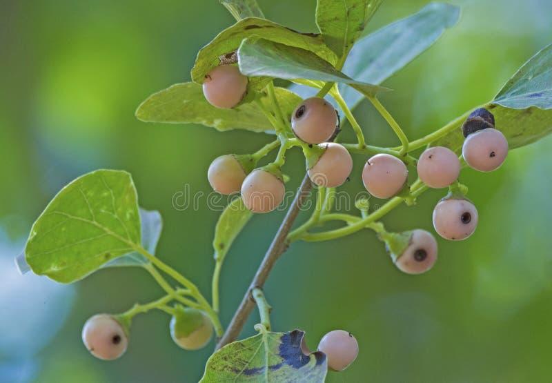 wild frukt arkivfoto