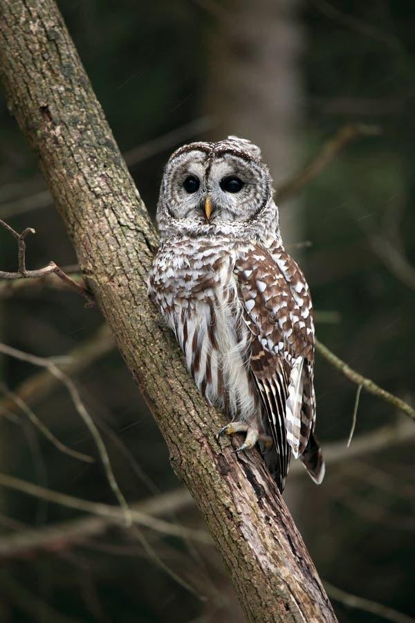 wild gallerförsedd owl royaltyfri bild