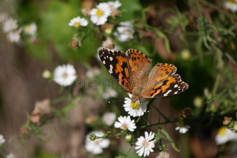 Gorgeous spotted Monarch Butterfly on little white Flowers royalty free stock photo