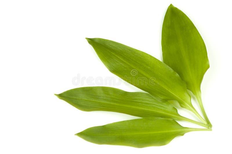 Download Wild garlic stock photo. Image of green, garlic, wild - 24544954