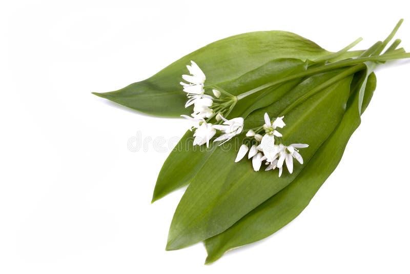 Wild garlic royalty free stock photo