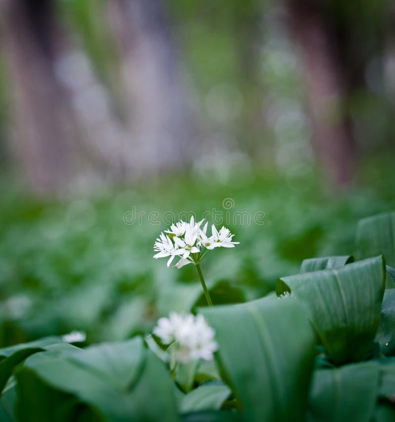 Download Wild garlic stock image. Image of green, garlic, blooming - 25045677