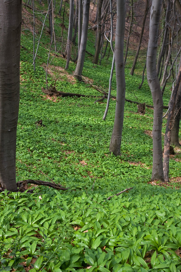 Wild garlic field royalty free stock images