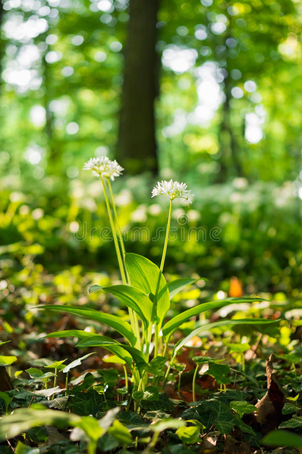 Wild garlic flower in spring oak forest royalty free stock photo