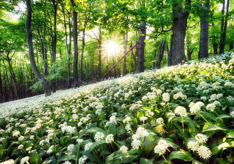 Wild garlic flowers in the forest with sun - Nature landscape royalty free stock image