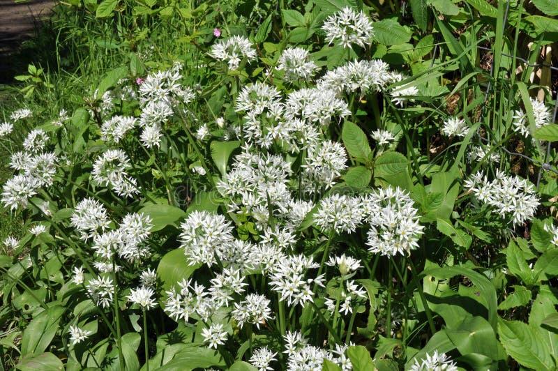 Wild garlic flowers stock image image of white natural 32760401 spring edible wild garlic with white flowers mightylinksfo