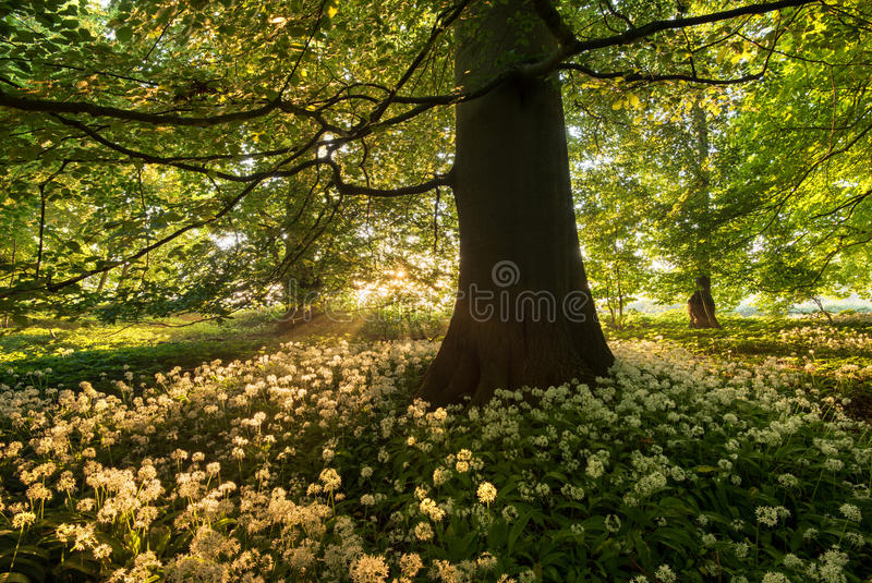 Download Wild garlic stock photo. Image of forest, sunrise, broad - 79797166