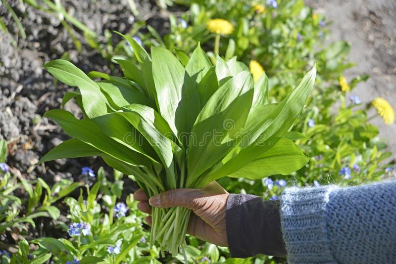 Wild garlic in the garden. Holding a bunch of wild garlic leafs in a hand stock photos