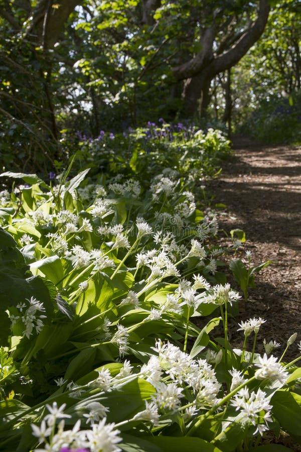 Wild Garlic in glade. Wild Garlic in a glade in Spring stock photography