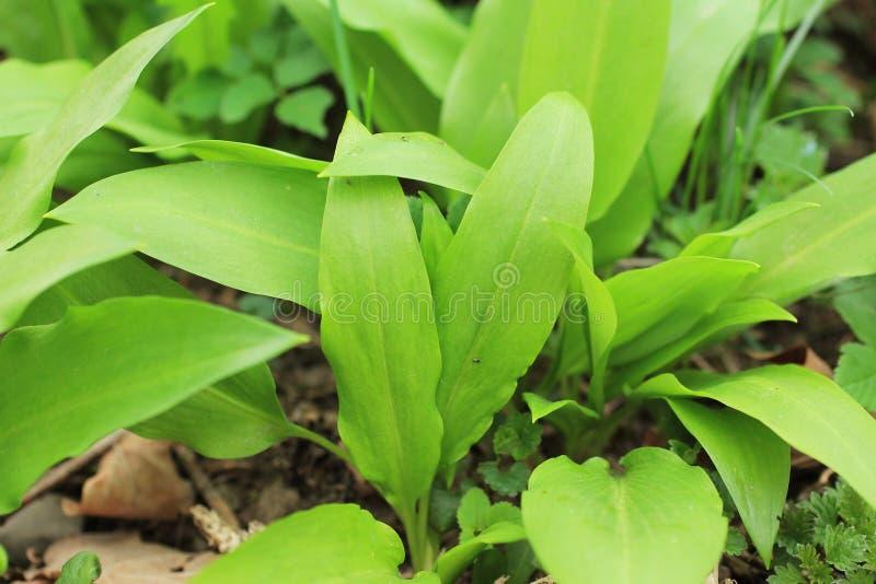 Wild garlic royalty free stock photos