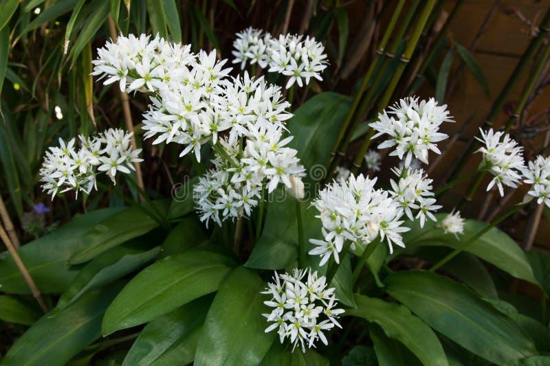 Wild garlic white flowering stock image