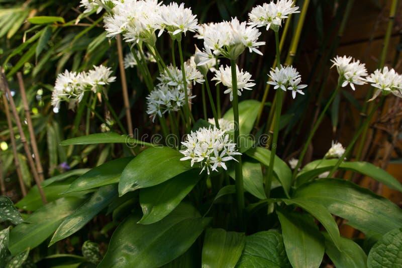 Wild garlic white flowering royalty free stock photos