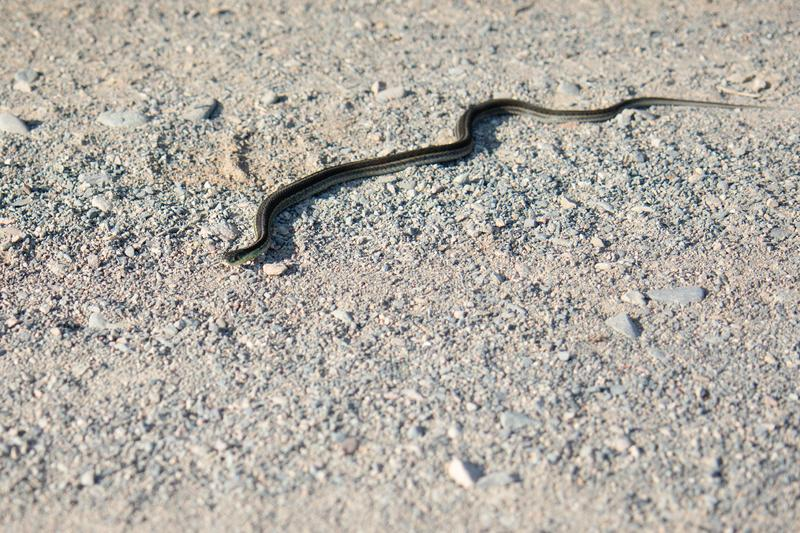 Wild Garter Snake. On a Gravel Road in Summer in the Daylight royalty free stock images
