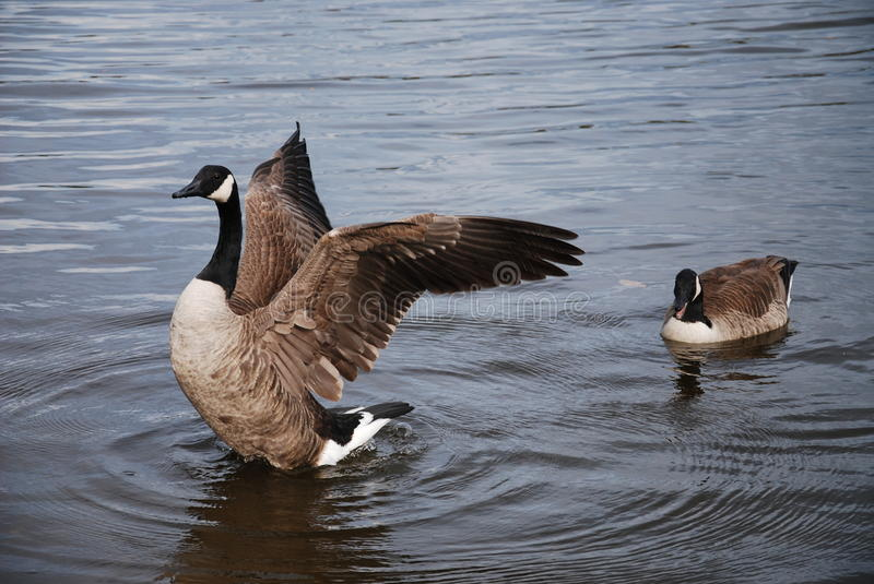 Wild Geese Stock Images