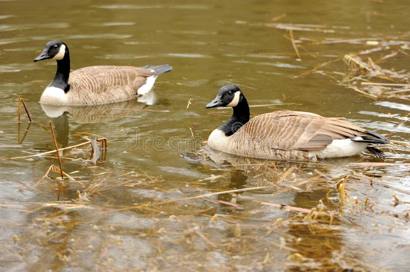 Download Wild geese stock photo. Image of waves, color, ripples - 28307558