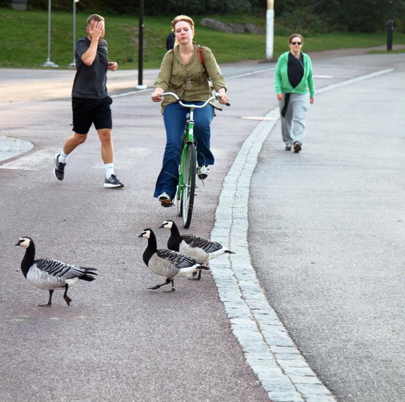 Wild geese Branta leucopsis live within city limits with best ecological conditions. HELSINKI, FINLAND - AUGUST 22, 2017: Wild geese Branta leucopsis live within royalty free stock photography