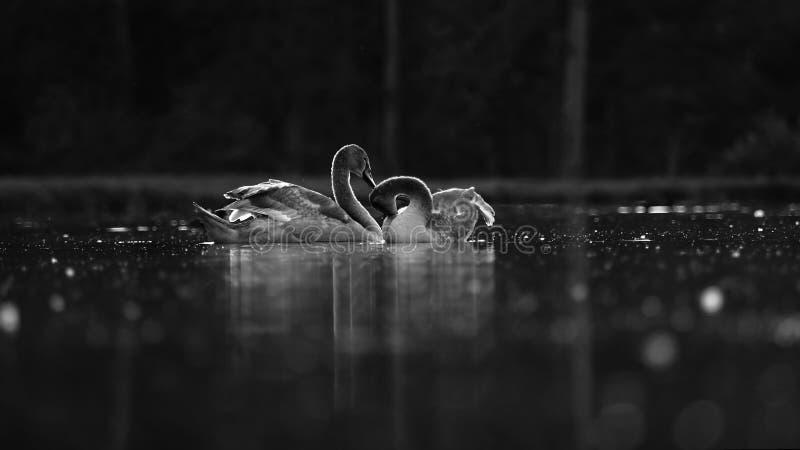 Wild geese royalty free stock photos