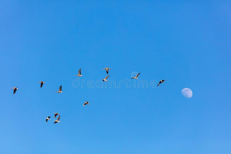 Wild geese in the sky royalty free stock image