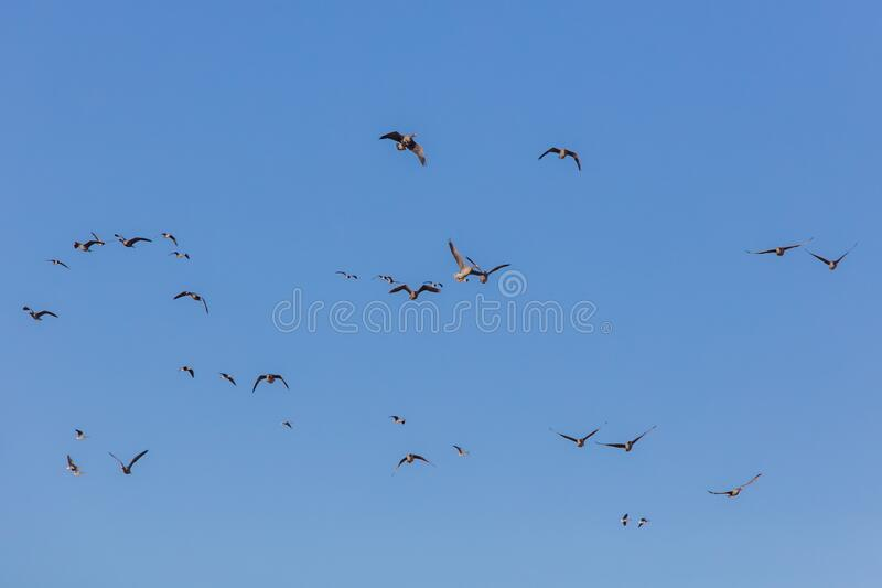 Wild geese in the sky stock images