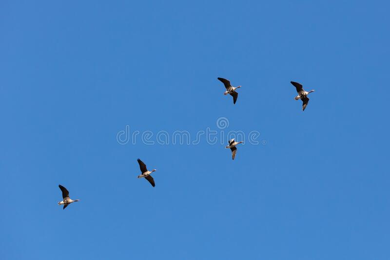 Wild geese in the sky stock photo