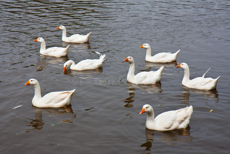 Download Wild Geese Swimming In A Lake Stock Image - Image: 19951935