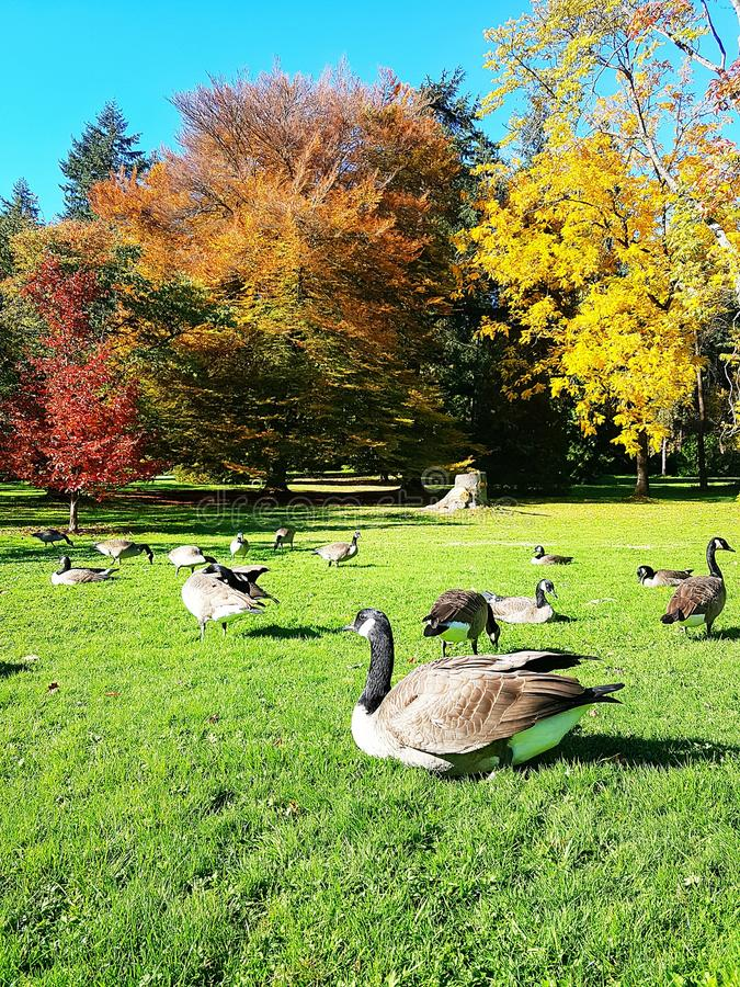 Wild geese on the green grass royalty free stock photos