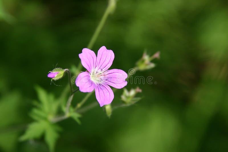 Download Wild Geranium stock image. Image of geraniums, seasonal - 147181