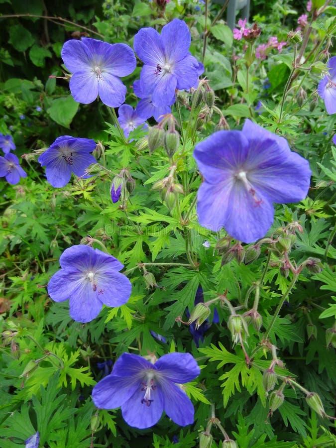 Wild geranium Flowers Blue. Blue flowers from the wild geranium, Dutch Ooievaarsbek, several flowers royalty free stock photography