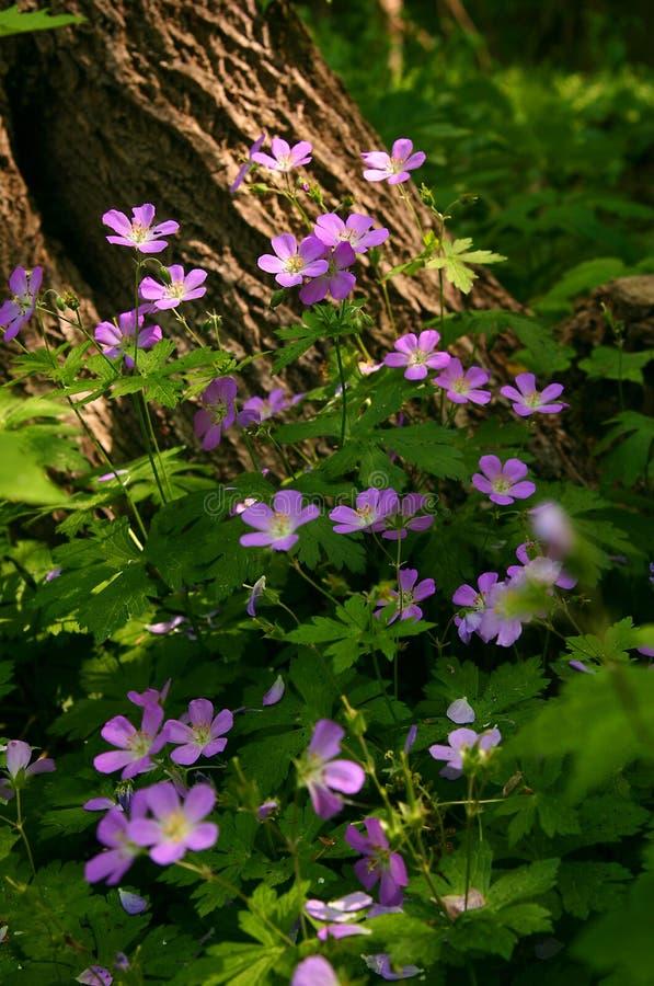 Wild Geraniums Stock Image