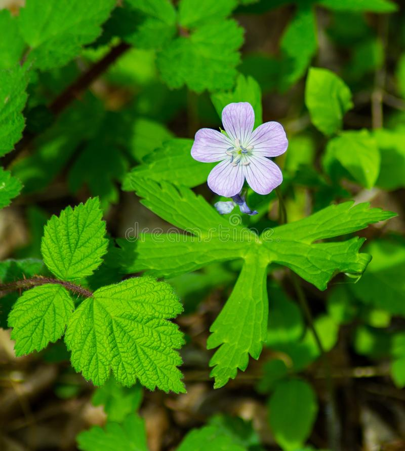 Vertical View of a Wild Geranium stock photography