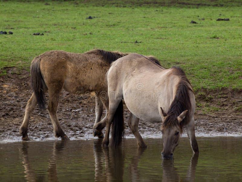 Stallion Deutsch