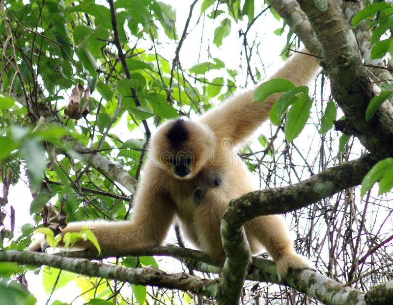Wild Gibbon monkey. Wild Gibbons hanging from trees