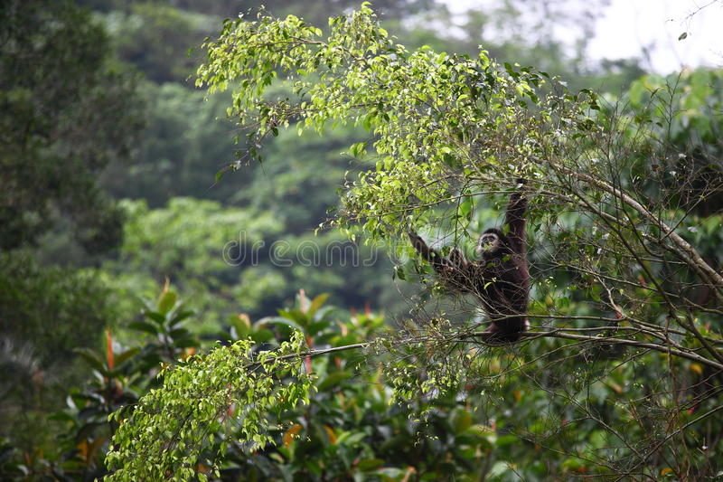 Wild Gibbon on a tree stock image