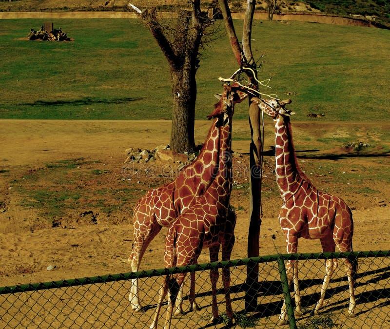 wild giraff fotografering för bildbyråer