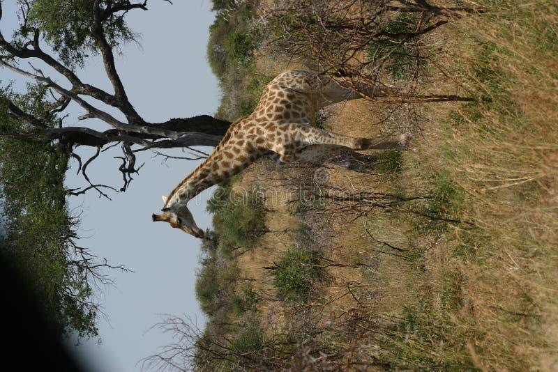 Download Wild Giraffe stock photo. Image of africa, animal, south - 78018