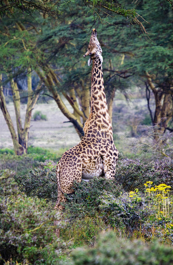 Wild Giraffes In The Savanna Stock Photography