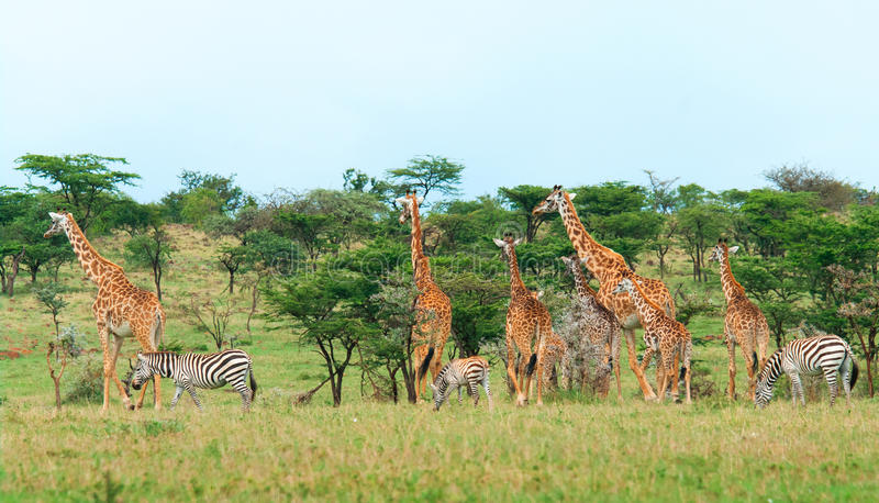 Download Wild Giraffes In The Savanna Stock Photography - Image: 33105052
