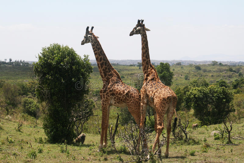 Wild giraffes. Two giraffes in the arusha park in tanzania royalty free stock photos