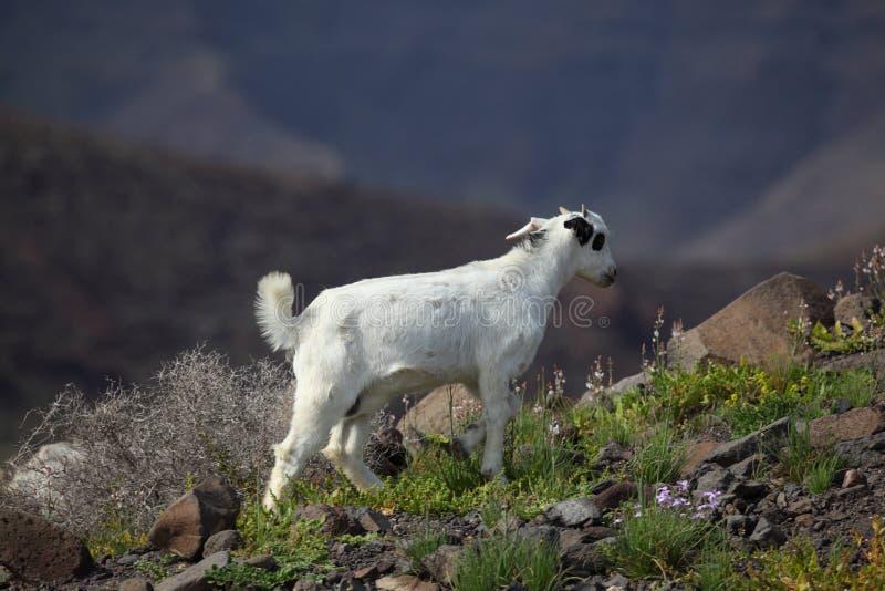 Download Wild goat stock image. Image of wild, livestock, farming - 19250727