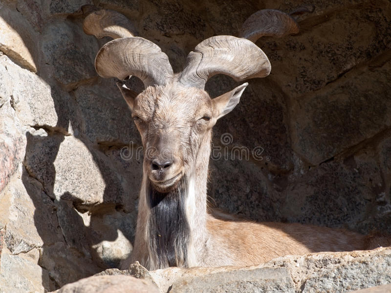 Download Wild goat stock photo. Image of stately, brown, summer - 19866520