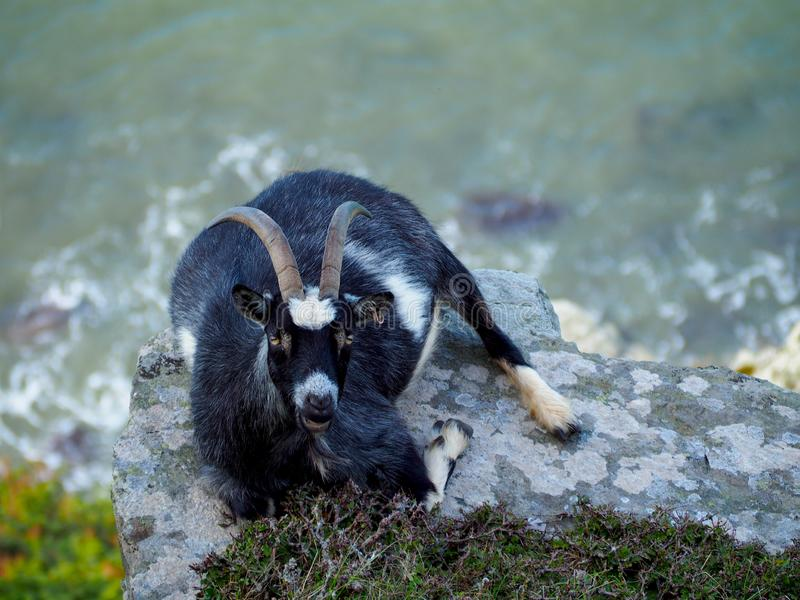 Goat on a Cliff Edge Overlooking the Bristol Channel. A wild goat with big horns lying on a cliff edge with the Bristol Channel below. Taken in Lynton and royalty free stock image
