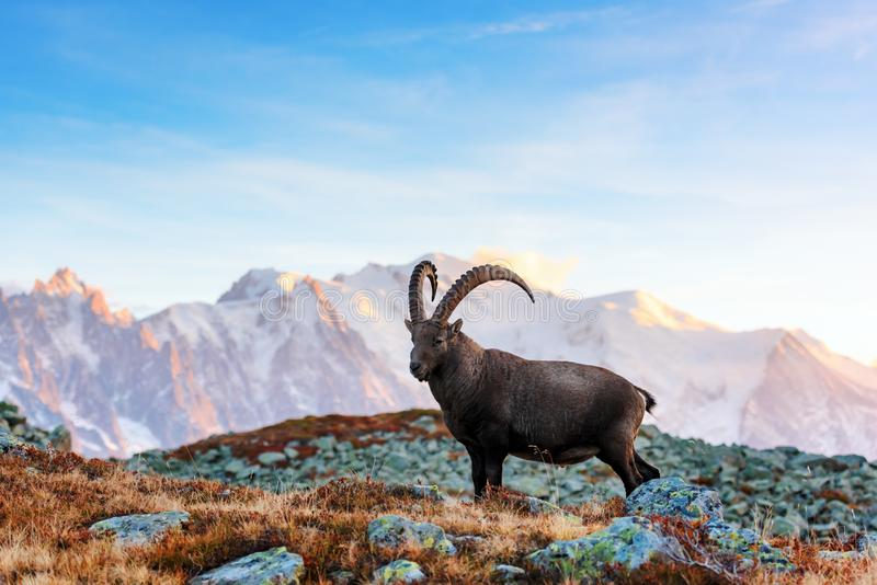 Wild goat in the France Alps. Wild goat Alpine Carpa Ibex in the France Alps mountains. Monte Bianco range with Mont Blanc mountain on background royalty free stock photos