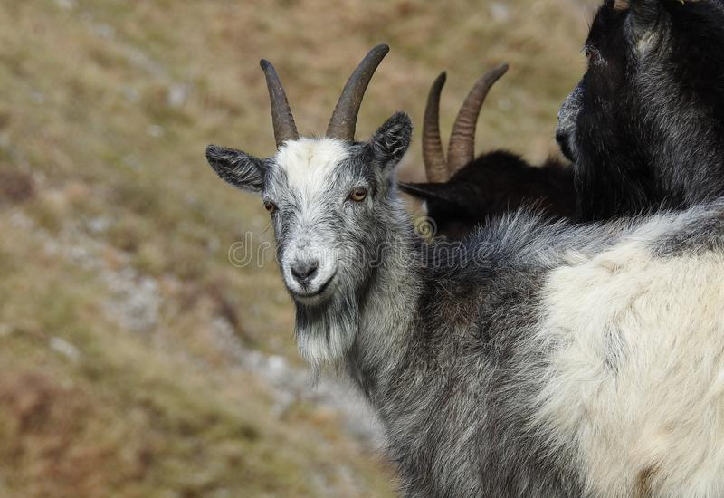 Wild Goat Group in Cheddar Gorge England royalty free stock photo